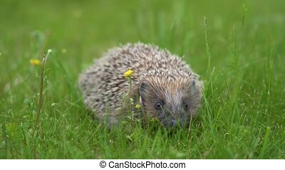 Little hedgehog in green grass sniffing for food. Close up view. Wildlife nature concept.