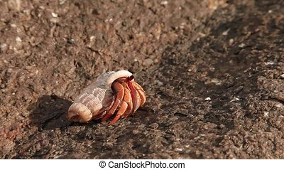 Little hermit crab crawling with its shell. Phuket island,...
