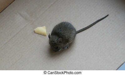 Little house mouse eating cheese in carton box - Little...