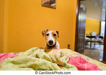 Little jack russell terrier on bed