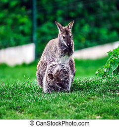 Little kangaroo in a small farm