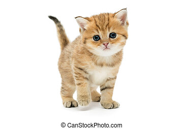 Little kitten breed British, the red marble coloring. The...