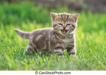Little kitten cat meowing in the green grass - Little funny...