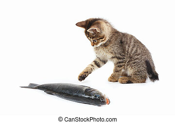 Little kitten looks at a labrax fish on white background -...