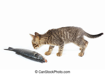 Little kitten looks at a sea bass fish on white background -...
