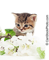 little kitten with a branch of apple blossoms on a white backgro