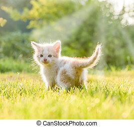 little kittens - funny little white kitten with blue eyes