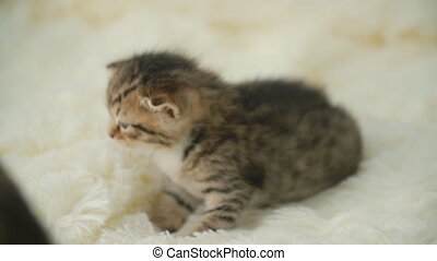 little kitty on a blanket - Curious gray kitten. Little cat...