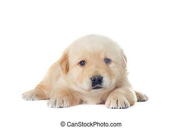 little labrador puppy on a white background