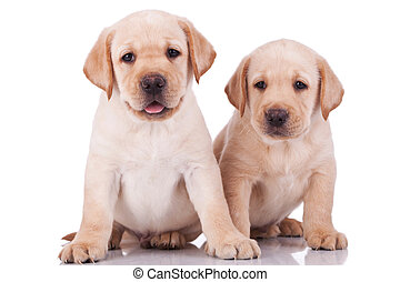 two adorable little labrador retriever puppies, panting on white background