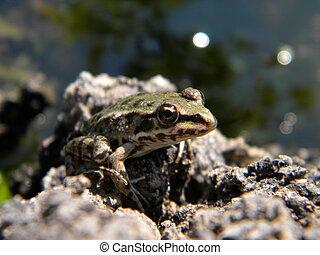 A little green lake frog