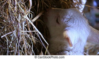 Little lamb - A little lamb is eating straw in a manger