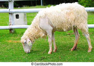 Little lamb eating grass on beautiful green glass field