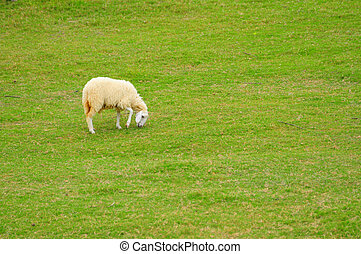 Little lamb eating grass on beautiful green glass field