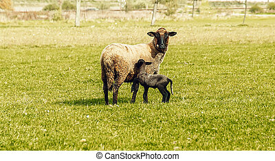 Little lamb grazing on a beautiful green meadow with dandelion.