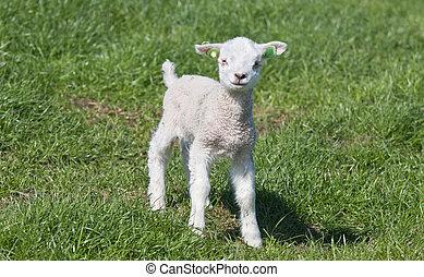 Little lamb in a dutch meadow