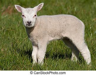 Little lamb in a field