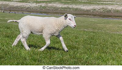 Little lamb on a dike in Groningen