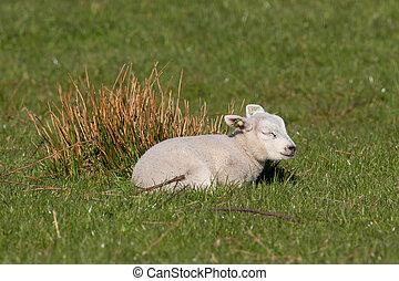 Little lamb sleeping in a meadow