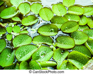 little leaves of water fern floating on water surface at...
