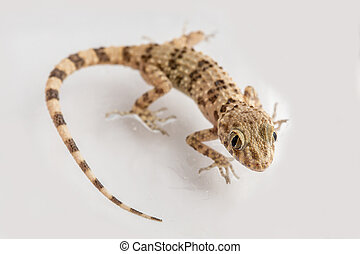 little lizard Gecko on white isolated background
