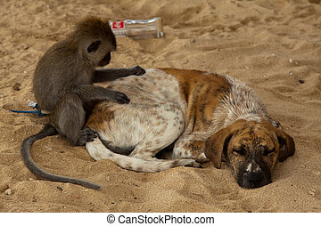 Little longtail macaque delouse a dog while sleeping.