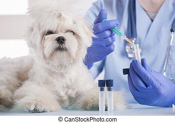 Little maltese dog at the vet office