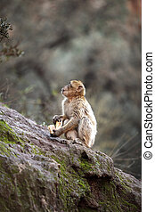 Monkey at the waterfalls in Kascades Douzude