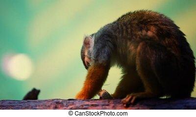Little monkey sitting on tree trunk and eats peanut