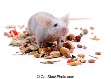 little fancy mouse eating grains