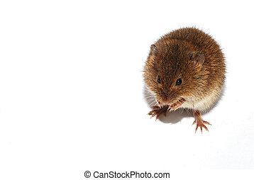 little mouse on white