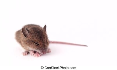 little mouse sleeping, on a white background