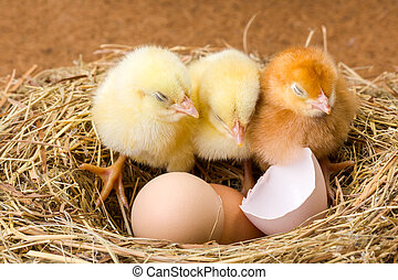 Little newborn chickens in nest with egg shell