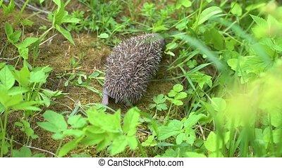 Little newborn hedgehog in green grass. Close up view. Wildlife nature concept.