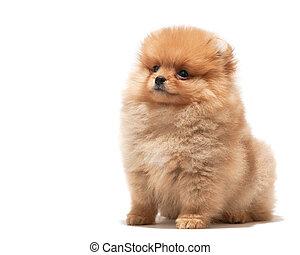 Little orange puppy - A pomeranian spitz puppy; isolated on...