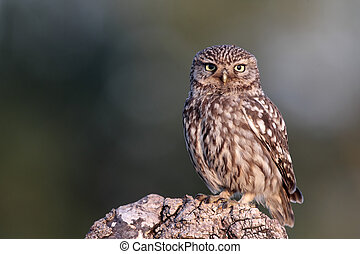 Little owl, Athene noctua, single bird perched on log in...