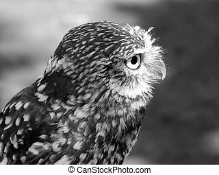 little owl in profile close up