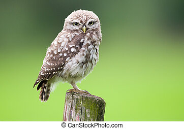 Little owl young perching on a wooden stump