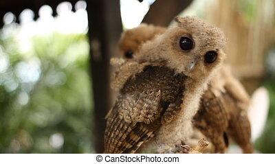 Little owl looking photographer