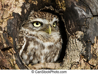 Little owl standing in a hole in an old tree trunk