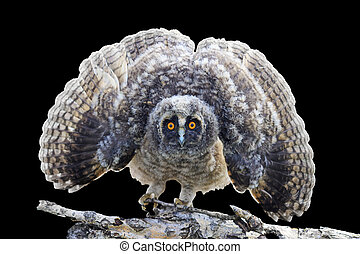 little owlet with open wings isolated on black