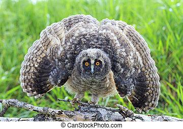 little owlet with open wings