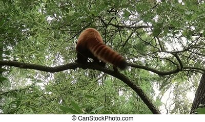 Little Panda in the tree. (Ailurus fulgens)