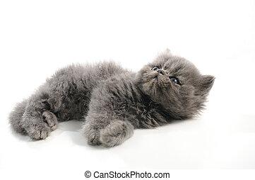 Little persian cat