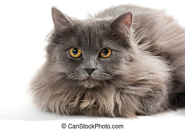 Little Persian kitten gray color, isolated on white...