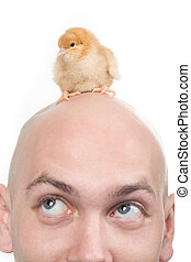 Little pet - Photo of cute chick on bald head of man over...