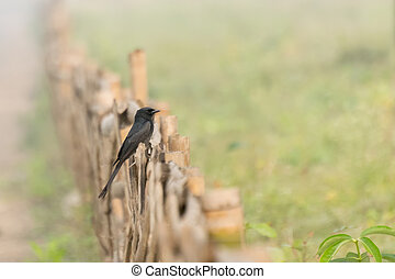 Little pied cormorant - Little Pied cormorant (Microcarbo...