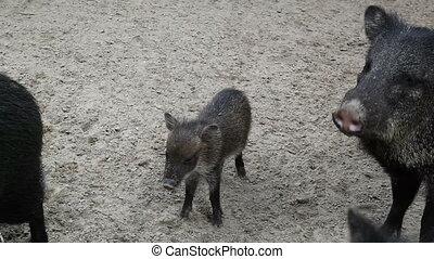pig - Little pig