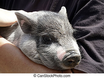 Little pig in the hands, young animal, very nice