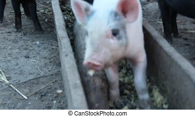 Little piglets eat from trough and jolly run on farm yard....
